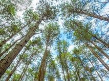 Αλπικά δέντρα στον πιό forrest Στοκ Εικόνες
