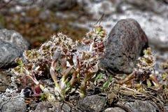Αλπικά Butterbur λουλούδια στην άνοιξη Στοκ εικόνα με δικαίωμα ελεύθερης χρήσης