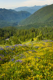 αλπικά wildflowers Στοκ Εικόνες