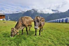 Αλπικές αγελάδες Στοκ εικόνα με δικαίωμα ελεύθερης χρήσης