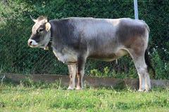 Αλπική αγελάδα Στοκ Εικόνα