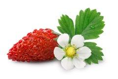 Αλπική φράουλα (Fragaria vesca) Στοκ Εικόνες