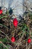 Αλπικός αυξήθηκε, Alpen αυξήθηκε (pendulina της Rosa) Στοκ Εικόνες