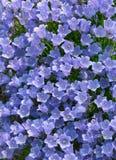 Αλπικό μπλε λουλούδι κουδουνιών Campanula στοκ φωτογραφίες με δικαίωμα ελεύθερης χρήσης