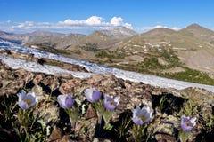 Αλπικό μπλε Anemones στα δύσκολα βουνά Στοκ Φωτογραφία