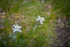 Αλπικό λουλούδι Edelweiss στα βουνά Ceahlau, Ρουμανία Στοκ Φωτογραφία