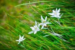 Αλπικό λουλούδι Edelweiss στα βουνά Ceahlau, Ρουμανία Στοκ φωτογραφία με δικαίωμα ελεύθερης χρήσης