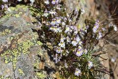 Αλπικό λουλούδι, Euphrasia Alpina, Eyebright, στο βράχο με τη λειχήνα Valpelline, κοιλάδα Aosta, Ιταλία στοκ εικόνες