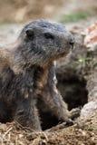 αλπικό marmota μαρμοτών Στοκ φωτογραφία με δικαίωμα ελεύθερης χρήσης