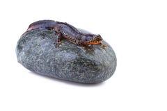 Αλπικό newt Στοκ Εικόνες