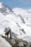 Αλπικό steinbock επάνω από τον παγετώνα Gornergrat Στοκ Φωτογραφίες