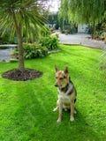 Αλσατικός στον όμορφο κήπο Στοκ εικόνα με δικαίωμα ελεύθερης χρήσης