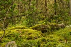 Αλσύλλια των παλαιών δέντρων στο βρύο Στοκ εικόνες με δικαίωμα ελεύθερης χρήσης