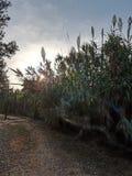 Αλσύλλιο καλάμων στη νότια Ιταλία Στοκ Εικόνες