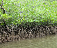 Αλσύλλιο των πράσινων δέντρων μαγγροβίων Στοκ Φωτογραφίες