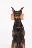 Αλτήρας εκμετάλλευσης σκυλιών με την κατάρτιση κρότου Στοκ φωτογραφία με δικαίωμα ελεύθερης χρήσης
