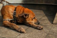 Αλυσοδεμένο επάνω σκυλί Στοκ φωτογραφία με δικαίωμα ελεύθερης χρήσης