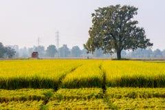 Αλωνίστε το ρύζι Στοκ Εικόνες