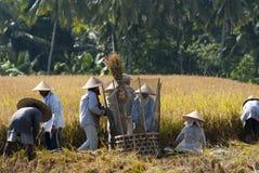 Αλώνισμα ρυζιού στο Μπαλί, Ινδονησία Στοκ Εικόνες