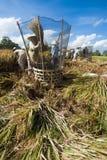 Αλώνισμα ρυζιού στο Μπαλί, Ινδονησία Στοκ εικόνες με δικαίωμα ελεύθερης χρήσης