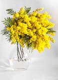 Βάζο των κλάδων του mimosa σε ένα άσπρο υπόβαθρο Στοκ φωτογραφίες με δικαίωμα ελεύθερης χρήσης
