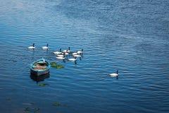 Βάρκα και μαύρος-necked κύκνοι στον ποταμό Gamboa - Castro, νησί Chiloe, Χιλή στοκ εικόνα