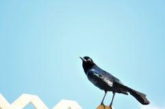 Βάρκα-παρακολουθημένο αρσενικό πουλί Grackle στο φράκτη Στοκ Εικόνες