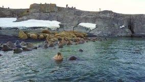 Βάση σίτισης των οδόβαινων στις ακτές του αρκτικού ωκεανού στο νέο νησί γήινου Vaigach απόθεμα βίντεο