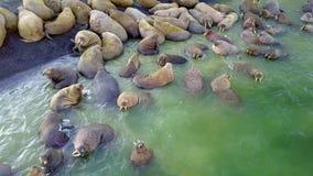 Βάση σίτισης των οδόβαινων στις ακτές του αρκτικού ωκεανού στο νέο νησί γήινου Vaigach φιλμ μικρού μήκους