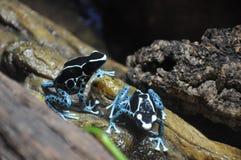 Βάτραχοι δέντρων στο ζωολογικό κήπο Στοκ Εικόνες