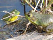 Βάτραχοι αγάπης Στοκ Φωτογραφίες