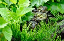 βάτραχοι αστείοι Στοκ φωτογραφία με δικαίωμα ελεύθερης χρήσης