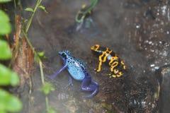 Βάτραχοι βελών δηλητήριων ελεύθερη απεικόνιση δικαιώματος