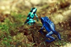 Βάτραχοι βελών δηλητήριων Στοκ φωτογραφία με δικαίωμα ελεύθερης χρήσης