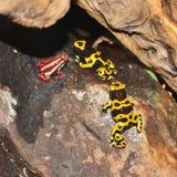Βάτραχοι βελών δηλητήριων Στοκ Εικόνες