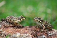 βάτραχοι δύο Στοκ φωτογραφία με δικαίωμα ελεύθερης χρήσης