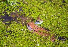 βάτραχοι δύο Στοκ Εικόνα