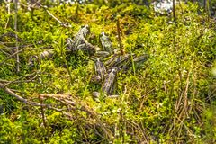 Βάτραχοι νερού που παίρνουν ένα λουτρό ήλιων στοκ φωτογραφία με δικαίωμα ελεύθερης χρήσης