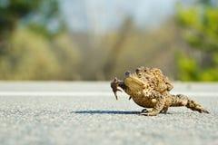 βάτραχοι που ζευγαρώνο&upsi Στοκ Εικόνα