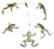 Βάτραχοι που κολυμπούν γύρω από ένα επιπλέον σώμα Στοκ Εικόνα