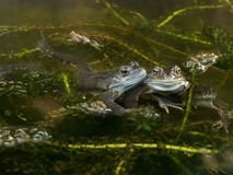 Βάτραχοι που ωοτοκούν σε μια λίμνη Στοκ εικόνα με δικαίωμα ελεύθερης χρήσης