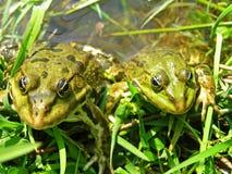 βάτραχοι πράσινοι Στοκ εικόνες με δικαίωμα ελεύθερης χρήσης