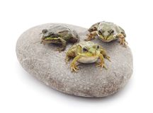 Βάτραχοι στην πέτρα Στοκ εικόνες με δικαίωμα ελεύθερης χρήσης