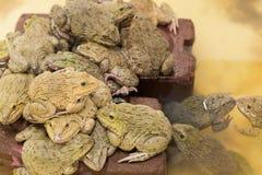 Βάτραχοι της Ασίας στην υπαίθρια λίμνη Στοκ Εικόνα
