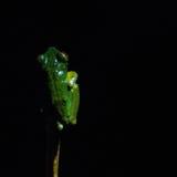 Βάτραχοι της Κόστα Ρίκα Στοκ φωτογραφία με δικαίωμα ελεύθερης χρήσης