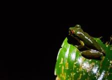 Βάτραχοι της Κόστα Ρίκα Στοκ εικόνα με δικαίωμα ελεύθερης χρήσης