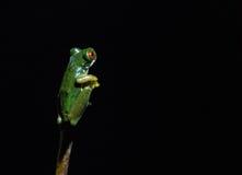 Βάτραχοι της Κόστα Ρίκα Στοκ Εικόνες