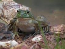 Βάτραχοι του Bull Στοκ φωτογραφία με δικαίωμα ελεύθερης χρήσης