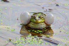 Βάτραχοι τραγουδιού Στοκ Φωτογραφία