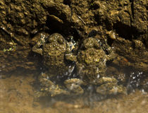 βάτραχοι δύο ύδωρ Στοκ φωτογραφία με δικαίωμα ελεύθερης χρήσης